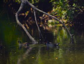 实拍超高清野生动物黑水鸡视频素材
