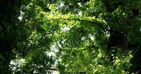 古枫、古枫树、枫树、枫香视频素材