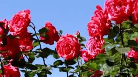 原创蓝天阳光月季花花朵实拍素材视频素材