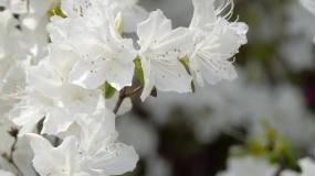 杜鹃花、映上红、山石榴花盛开(白色)02视频素材