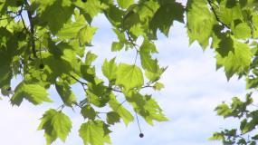 夏天的树叶青春的回忆【原创】视频素材