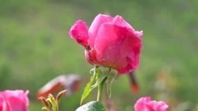 玫瑰、实拍雨后的玫瑰花、特写镜头02视频素材