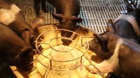 黑猪小猪养殖-原创视频素材