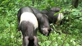 黑猪生态养殖放养-原创实拍视频素材
