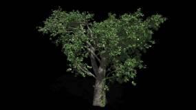 大树摇曳动画有通道视频素材