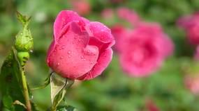 玫瑰、实拍雨后的玫瑰花、特写镜头03视频素材