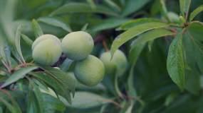 4K雨后成长的水果视频素材