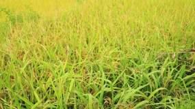 金色稻子成熟丰收视频素材