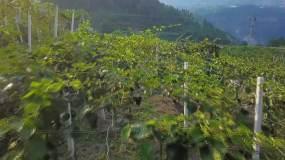 猕猴桃基地实地拍摄视频素材