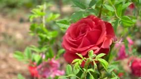 月季、玫瑰花开、特写镜头B视频素材