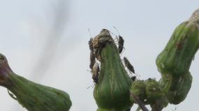 微距拍摄野生植物花苞上的小虫子视频素材