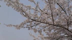 春天街心的柳树视频素材