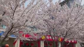 街道边樱花盛开城市街景通用素材视频素材