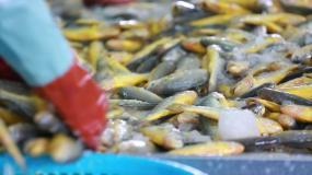 大黄鱼批发市场视频素材