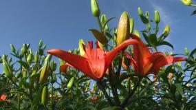 实拍盛开的百合花,百合花基地视频素材