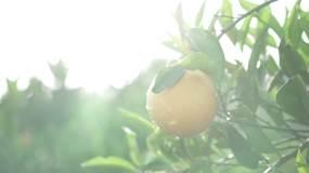 奉节脐橙柑子柑桔橙子水果种植采摘加工实拍视频素材