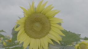 高清拍摄向日葵升格150特写(灰片)视频素材