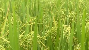 水稻早稻中稻晚稻稻浪稻花香视频素材