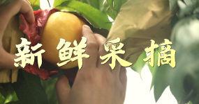 黄肉油桃-芒芒桃-炎陵黄桃素材视频素材