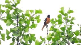 银杏树上的小鸟,北红尾鸲叫声视频素材