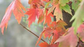 红枫叶视频素材