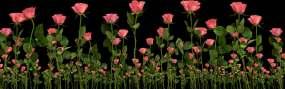 原创4K三组玫瑰花带通道视频素材包