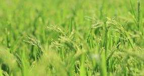 【4K实拍】10组风吹稻田稻花特写视频素材包