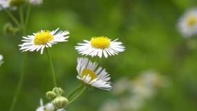 唯美白色小花意境视频素材