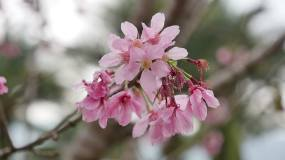 粉红色梅花视频素材