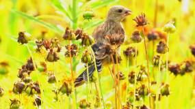 鲜花丛中的金翅雀视频素材