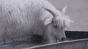 (阿莱电影机拍摄)草原山羊牧羊内蒙古羊群视频素材