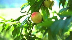 4K桃子成熟实拍素材视频素材