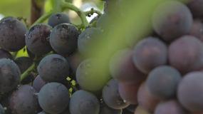 葡萄采摘丰收视频素材