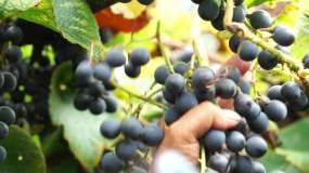 山野葡萄纯正天然基地高清实拍视频素材包