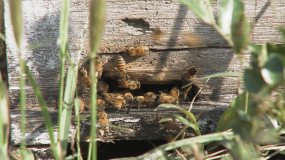 蜜蜂采蜜授粉视频素材