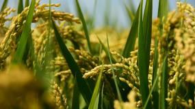 秋天的稻穗,丰收的季节视频素材