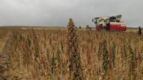 农业粮食丰收藜麦视频素材