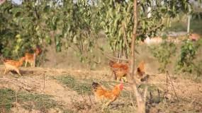 土鸡散养鸡大白鹅走地鸡视频素材