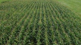 4K玉米地农田农业视频素材