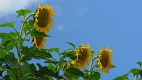 向日葵蓝天白云大气空境积极4K视频素材