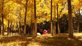 秋天银杏树林延时拍照游人视频素材