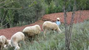 小孩山上放羊实拍素材视频素材