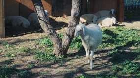 蹭痒痒的山羊动物园动物视频素材