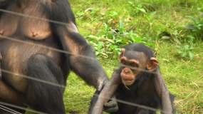 黑猩猩实拍视频素材