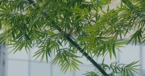4K唯美的竹子竹叶03视频素材
