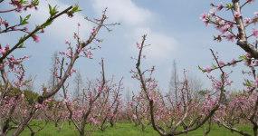 桃园桃花视频素材合集视频素材