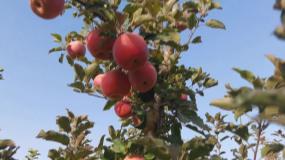 苹果、苹果园、诱人的苹果视频素材