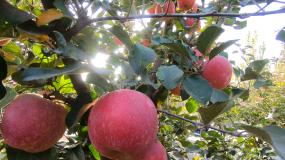红苹果01视频素材
