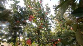 红苹果视频素材