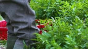 采摘水芹菜视频素材